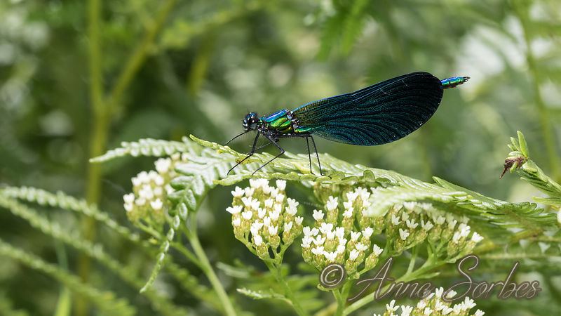 Beautiful Demoiselle (Calopteryx virgo) photos