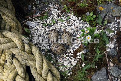 Eurasian Oystercatcher (Haematopus ostralegus) nest with three eggs, Fetlar, Shetland