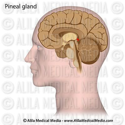 Pineal gland picture.