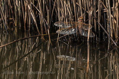 Brown dragonfly with reflection