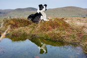 Border Collie sheepdog stiing down, and reflected in a pool. Cumbria, UK