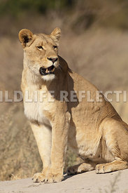 lioness_sitting_termite_hump_3