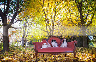 three small longhaired dogs posing on pink settee in autumn forest