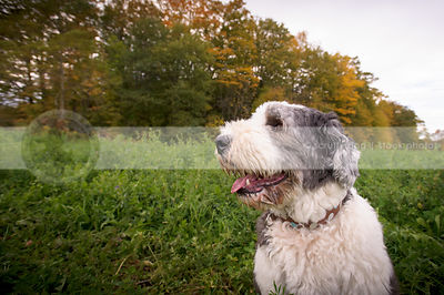 white and silver english sheepdog in alfalfa field with autumn trees