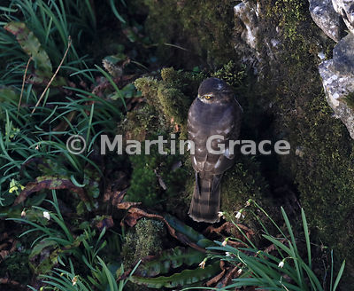 Juvenile male Eurasian Sparrowhawk (Accipiter nisus) stands next to a moss-covered limestone wall in a domestic garden, Lake District National Park, Cumbria, England