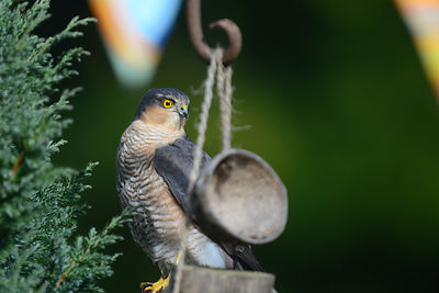 This male sparrow hawk uses my birdbath as his own personal buffet bar