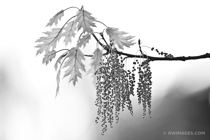 BOTANICALS TREE BRANCH LEAVES BLACK AND WHITE