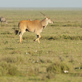 Eland wildlife photos