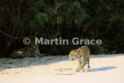 Female Jaguar (Panthera onca) 'Hunter' walks past her mate 'Hero', Three Brothers River, Northern Pantanal, Mato Grosso, Brazil. Image 2 of 62; elapsed time 1min