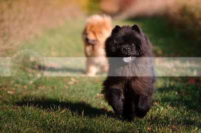 cute hairy black chow dog coming running in grass