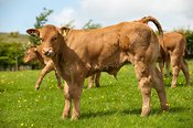 Young Limousin calves in pasture. Lancashire