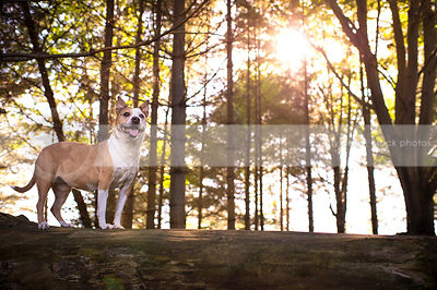 alert tan and white dog perched on log in pine trees with sunflare