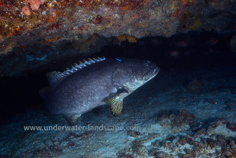 Giant Grouper - Underwater Cave
