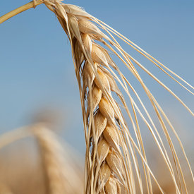 Orge - Barley photos