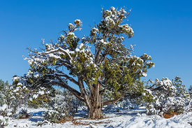 Utah Juniper after a Snowstorm near Coral Pink Sand Dunes State Park