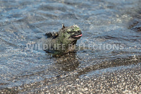 marine_iguana_waters_edge-9
