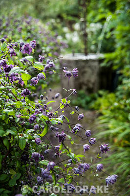 Clematis viticella 'Flore Pleno' growing over a salvaged fence in the Well Garden. Wollerton Old Hall, nr Market Drayton, Shropshire, UK