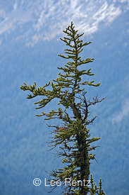 Subalpine Fir (Abies lasiocarpa) growing along the Pacific Crest Trail near Hart's Pass, Okanogan National Forest, North Cascade Mountains, Washington State, USA, October, 2008_WA_6466