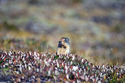 A ground squirrel (sp.) looks warily at the camera, Wilcox Pass, Jasper NP, Canadian Rockies