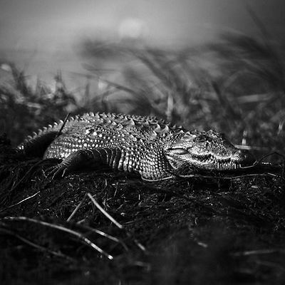 Crocodile alone in the grass, Botswana 2009 © Laurent Baheux