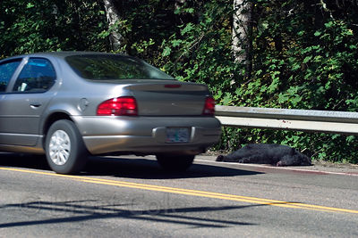 Road-killed black bear (Ursus americanus) on the highway leading through the Oregon Coast Range from Eugene to Florence