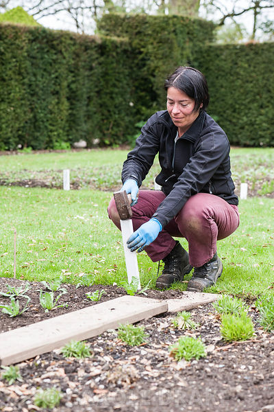 Aimee Kingdom hammering in the row label for Limonium sinuatum 'Iceberg' in the cutting garden at Cotehele, St Dominick, nr Saltash, Cornwall, UK