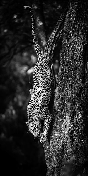 0676-The_descent_-_Hunting_Leopard_Kenya_2013_Laurent_Baheux