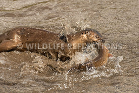 river_otter_trout_catch_sequence-5