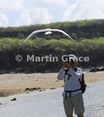 How is easy is wildlife photography in the Galapagos? Swallow-Tailed Gull (Larus furcatus) flying straight over a photographer, Darwin Beach, Genovesa, Galapagos Islands