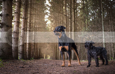 two dogs standing at attention in forest of pines