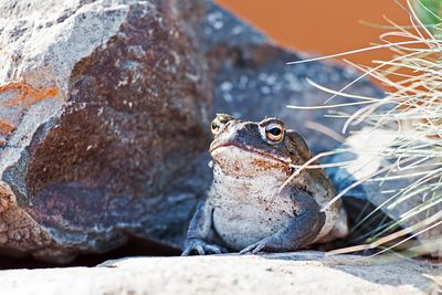 Sonoran Desert Toad On Rock