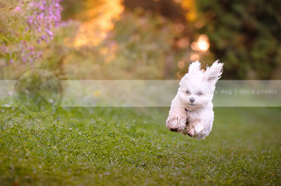 fast airborn white havanese dog running along park trail