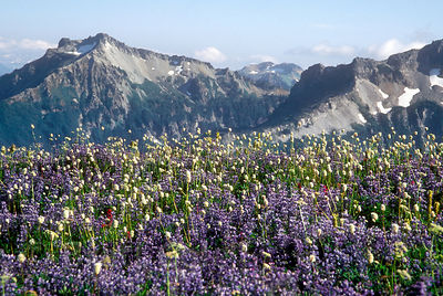 Wildflower meadows in the Goat Rocks Wilderness, Washington Cascades.