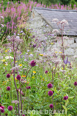 Allium sphaerocephalon and angelica in a meadow style planting with barn and block of pink rosebay willow herb on the slope behind.