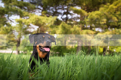 portrait of black and tan rottweiler dog in summer grasses