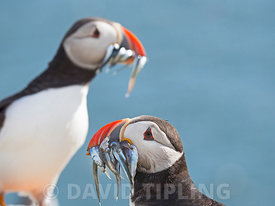 Puffin Fratercula arctica with a beakful of fish on Inner Farne, farne Islands Northumberland, June