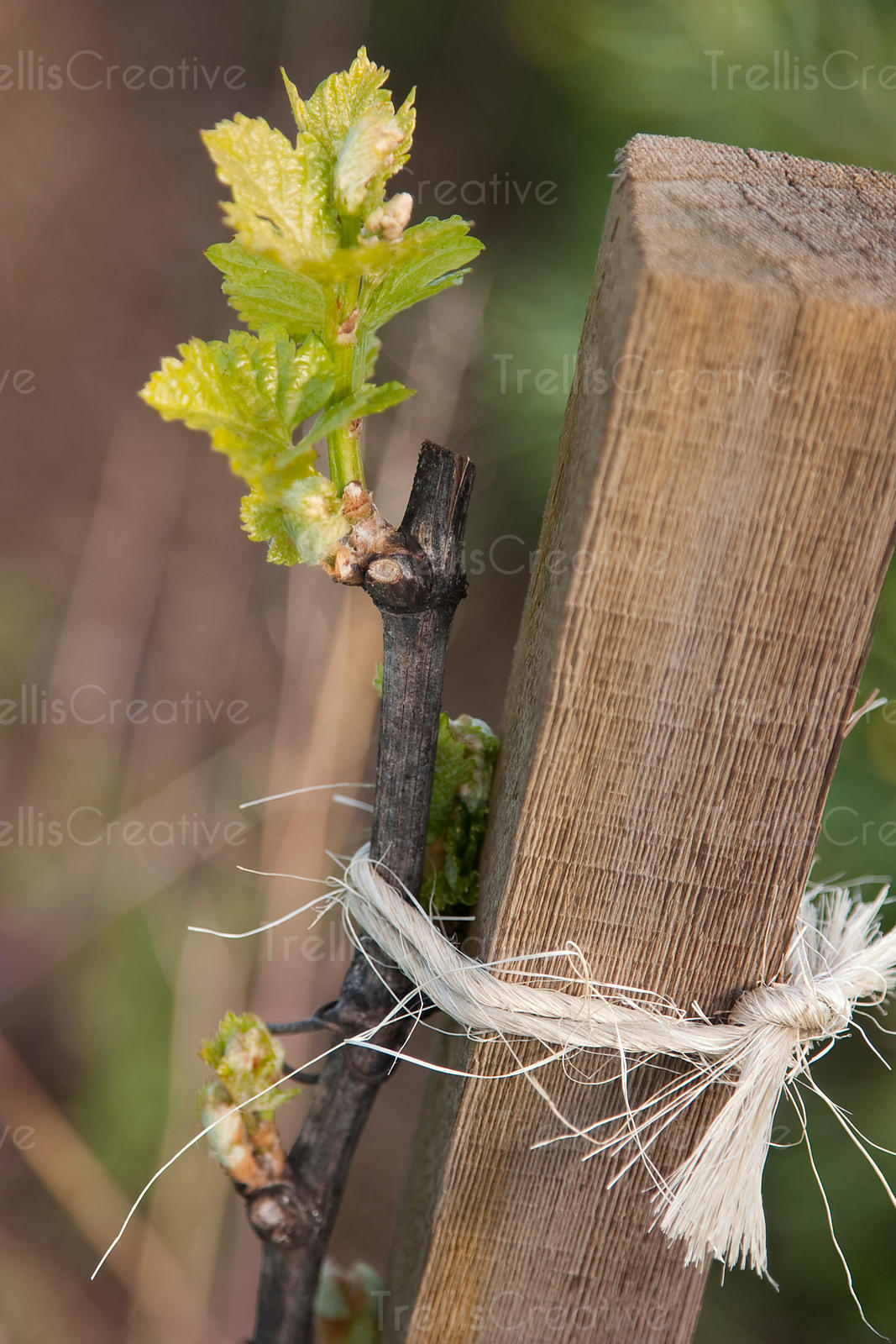 Close-up of a newly sprouted grapevine grafted to a wooden post