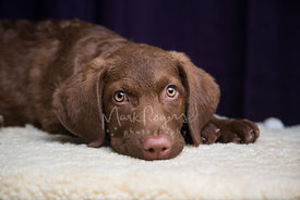 Cute, brown Retriever puppy close-up with head down