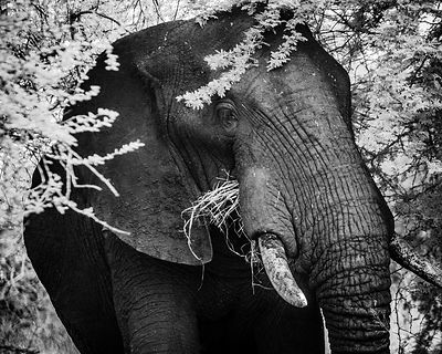 3427-Elephant_in_the_acacias_South_Africa_2008_Laurent_Baheux