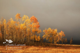 Golden Aspen Against a Gray Sky