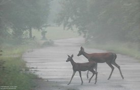 Doe and fawn cross foggy road