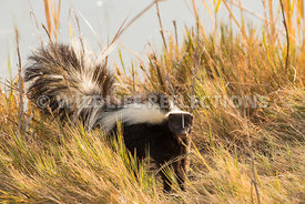 skunk_in_grass-3