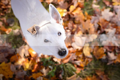 overhead photograph of small white senior dog looking up from autumn leaves