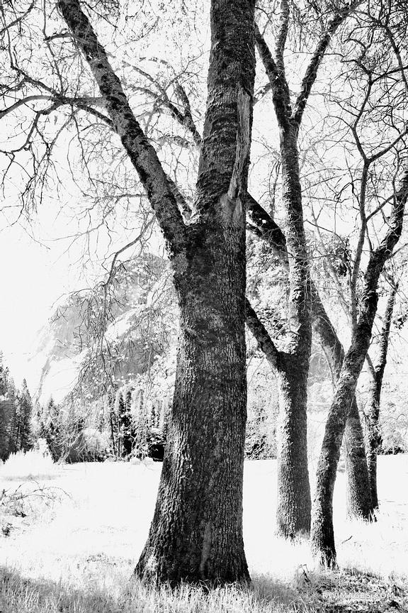 TREES YOSEMITE VALLEY YOSEMITE NATIONAL PARK CALIFORNIA BLACK AND WHITE VERTICAL