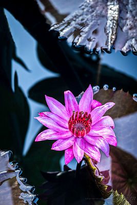 Water Lily - Pollinators