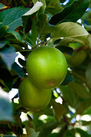 Green Apples on the Tree #3
