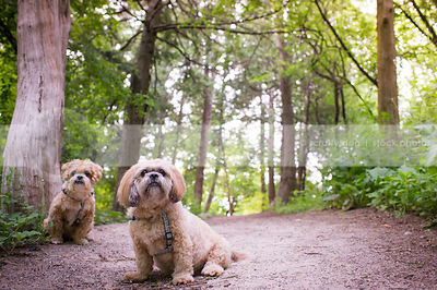 two cute lhasa apso dogs sitting near tree on forest trail in summer