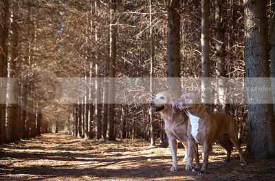 two senior dogs posing on pine forest trail together