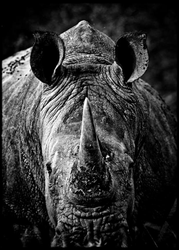 7430-Close_up_of_white_rhino_Laurent_Baheux