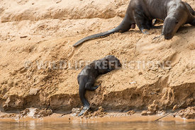 giant_otter_pup_effort-1